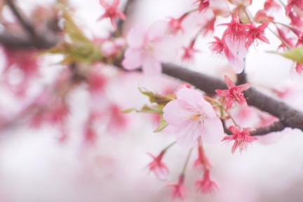 桜蘂降る季節です…博多織ドレス生地「清香桜」は、いつも満開!